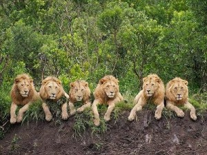 Animales-en-video-6-leones-seis-300x225